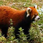 And this isn't a racoon ... it's a Red Panda